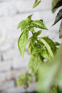 hidropónia termeszthető növény